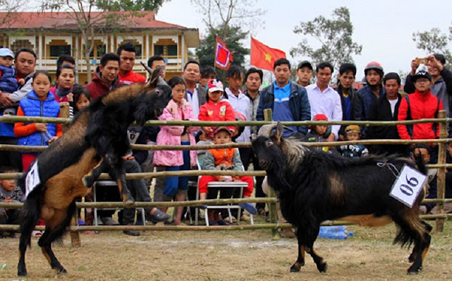 Goat fighting festival in Ha Giang 2