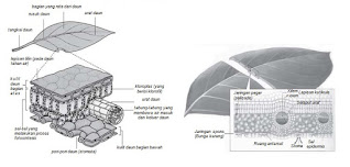 Struktur dan Fungsi Daun