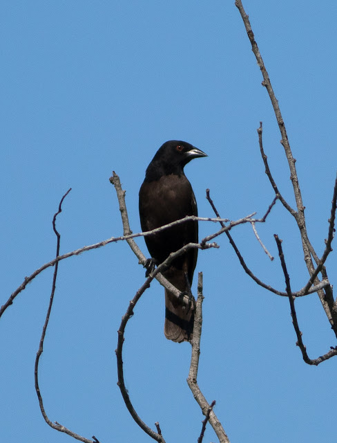 Bronzed Cowbird - Eagle Lakes Community Park, Florida