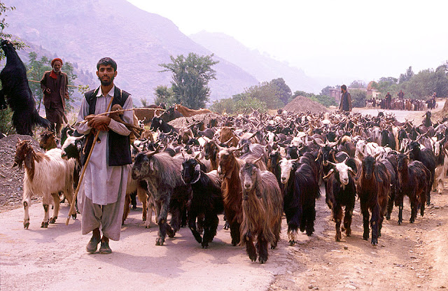 Men from Bakarwal Community with their tribe of Goats