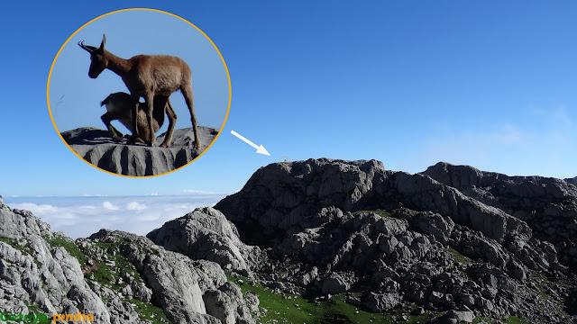 Un rebeco amamanta a su cría en Picos de Europa