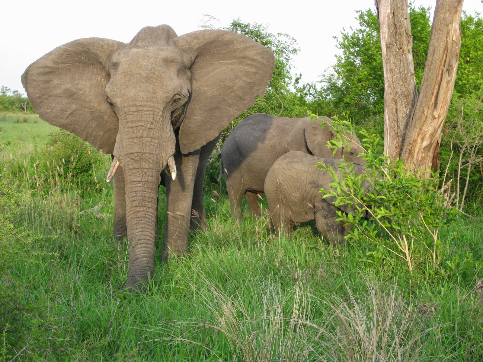 Sabi Sands - Elephants and baby elephants