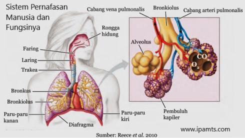 Sistem Pernafasan Manusia dan Fungsinya