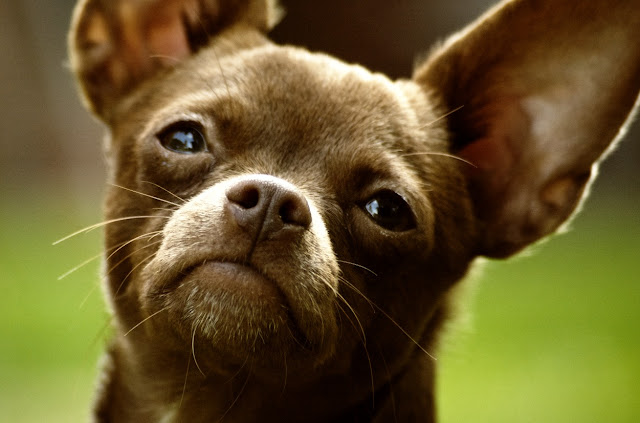 Dogs Breeds, Chihuahua Dog Breed,
