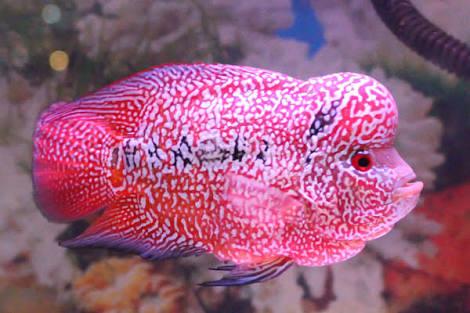 Tips Makanan Ikan Louhan Biar Merah Jenong Dan Cepat Besar