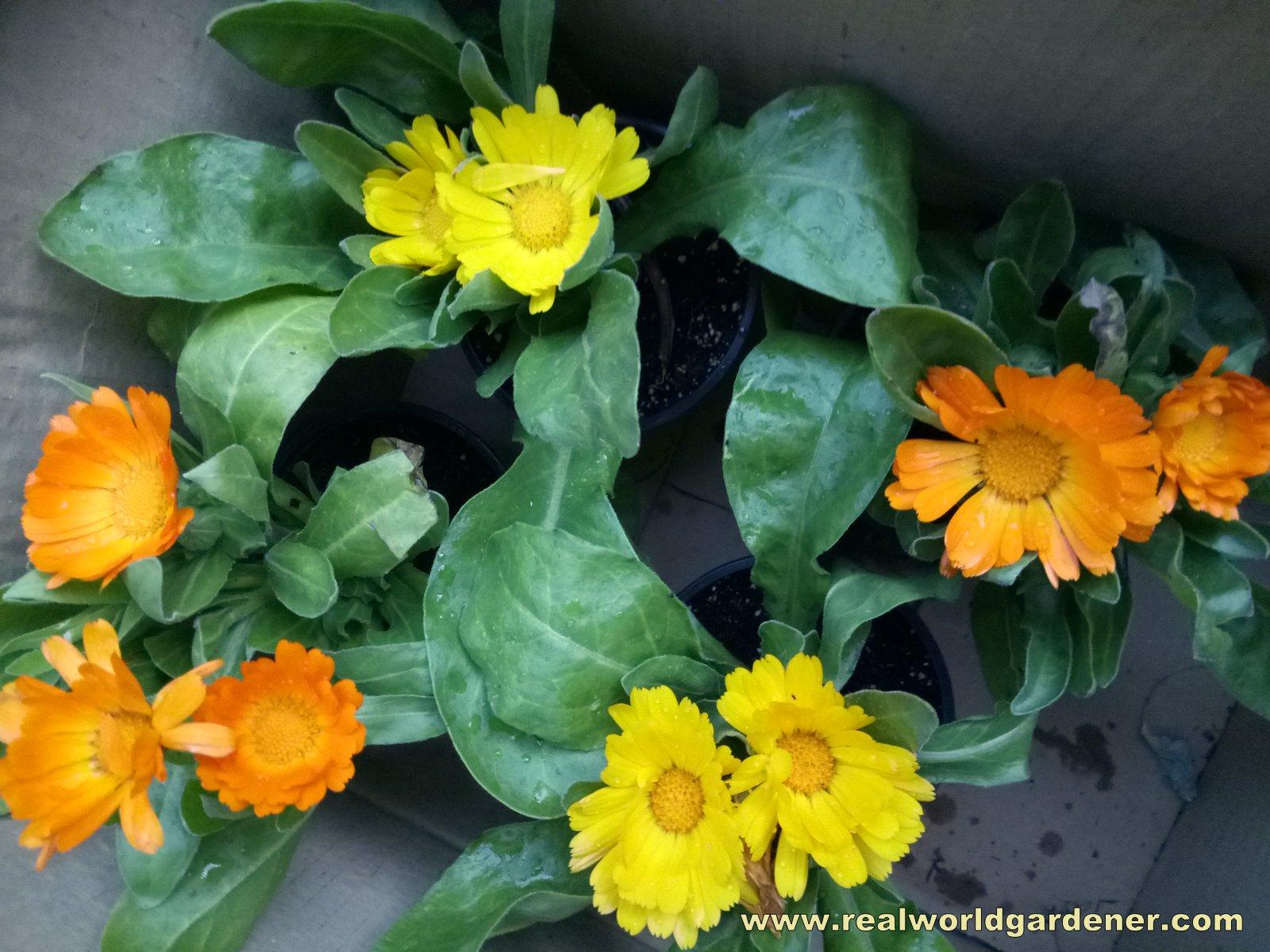 Real World Gardener Pot Marigold In Talking Flowers