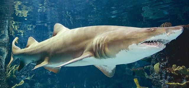tiburon toro nadando bajo el agua