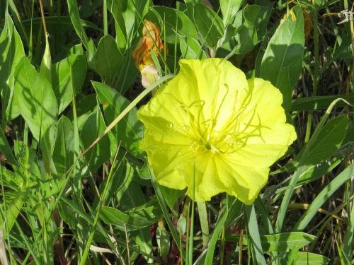 large evening primrose