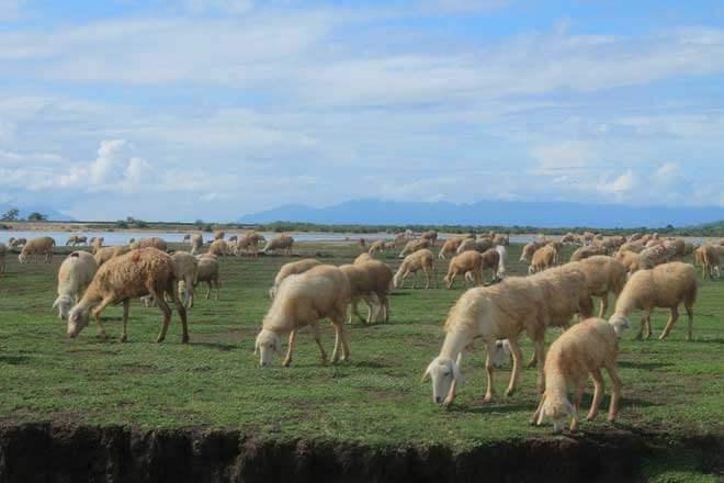 Thăm cánh đồng cừu đẹp như phim ở Ninh Thuận