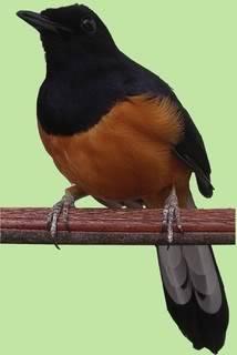Burung Murai Batu - Kenali Jenis Jenis Burung Murai Batu yang Populer dan Dapat Ditangkarkan - Penangkaran Burung Murai Batu
