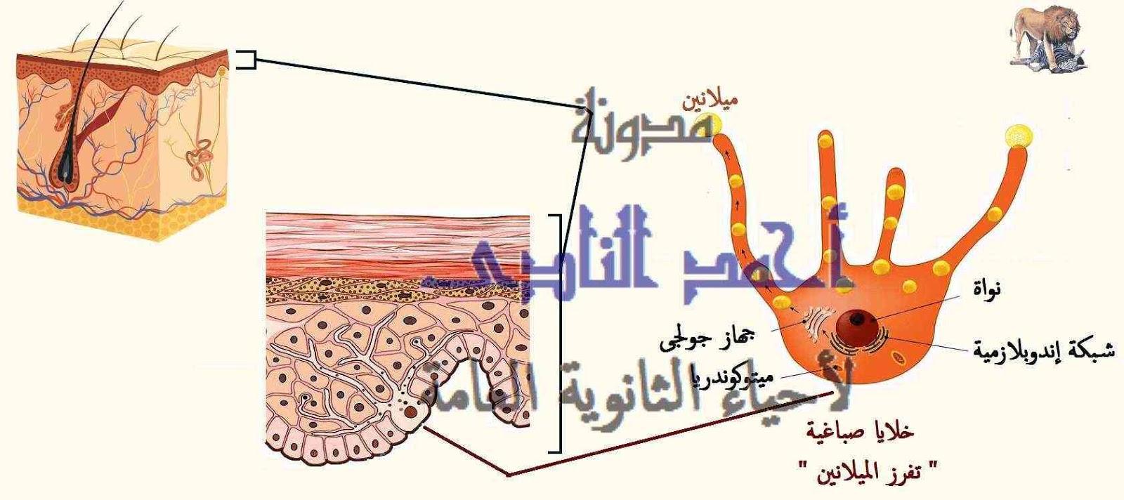 الجينوم البشرى - المهق  - مدونة أحمد النادى لأحياء الثانوية العامة