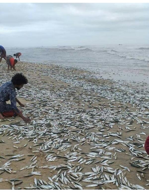 News, Kanhangad, Kerala, Fish, Sea, Sardines rushed to shore from the sea