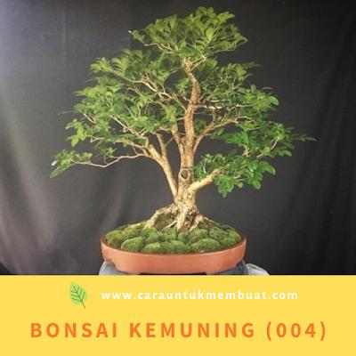 Bonsai Kemuning (004)