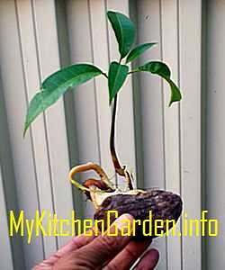 How To Grow Mango Tree From Seed Faster