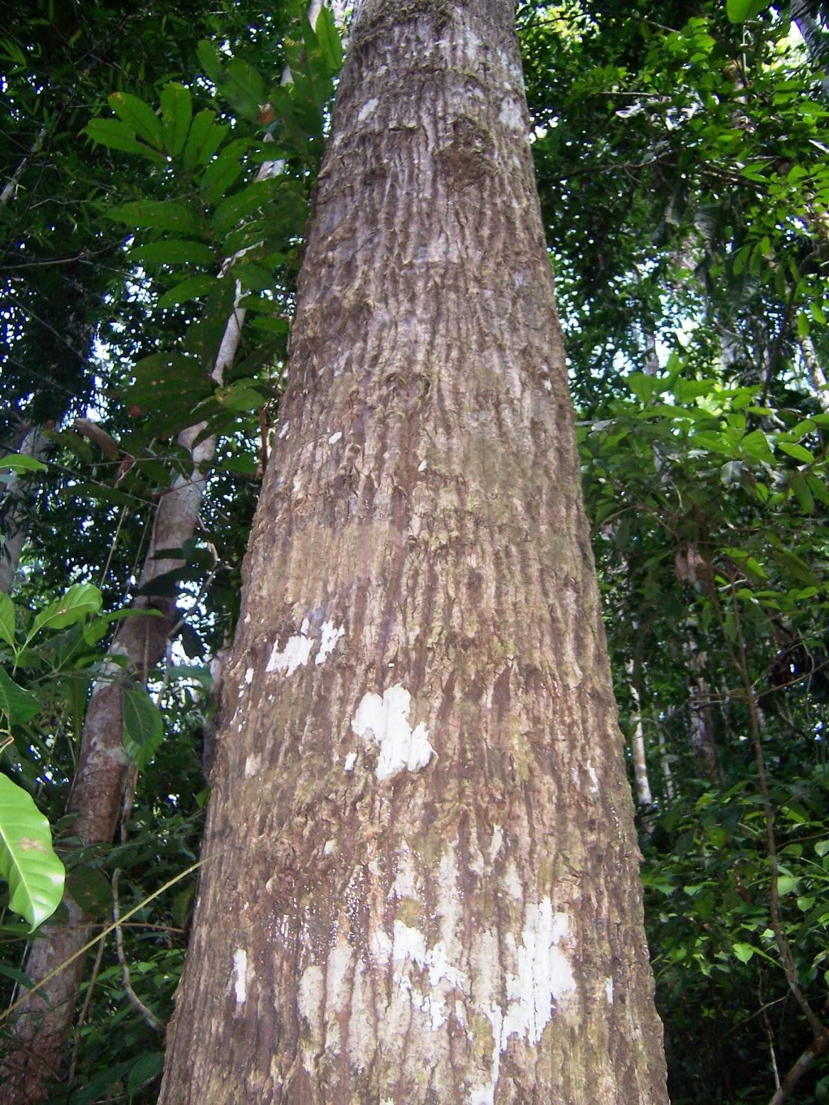Arboles de Ucayali