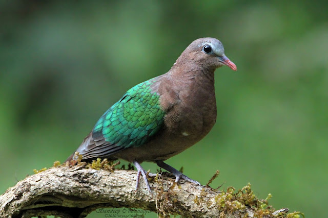 Asian Emerald Dove