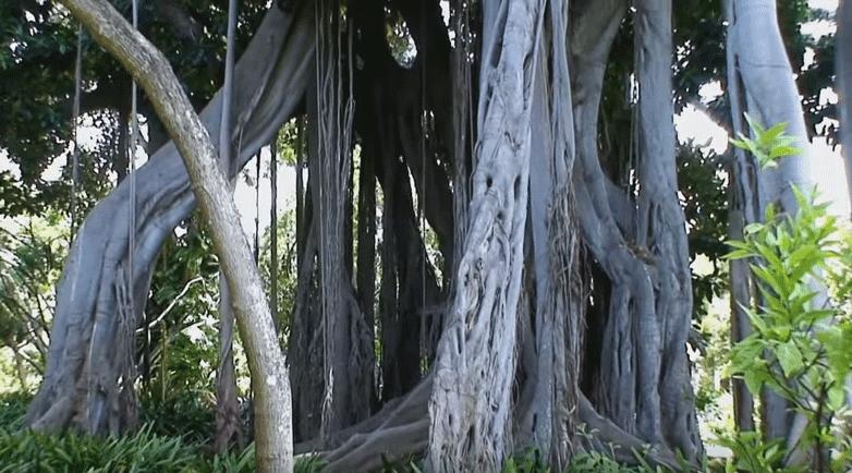 Ficus macrophylla f. columnaris, con sus impresionantes raíces
