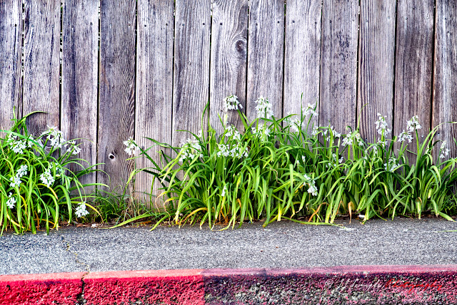 Wooden fence, sidewalk, curb, and flowers