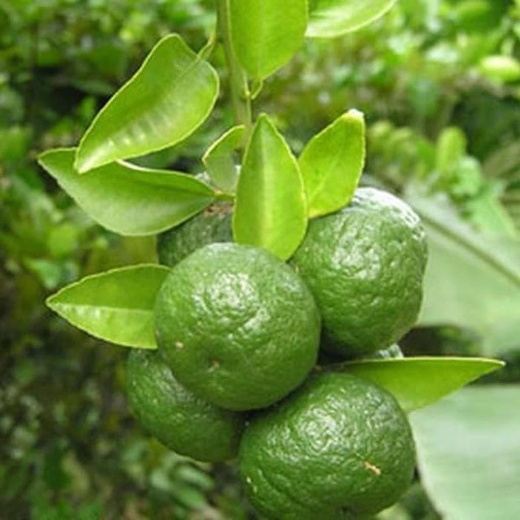 Bibit Buah Jeruk Limo kondisi berbuah Jawa Timur