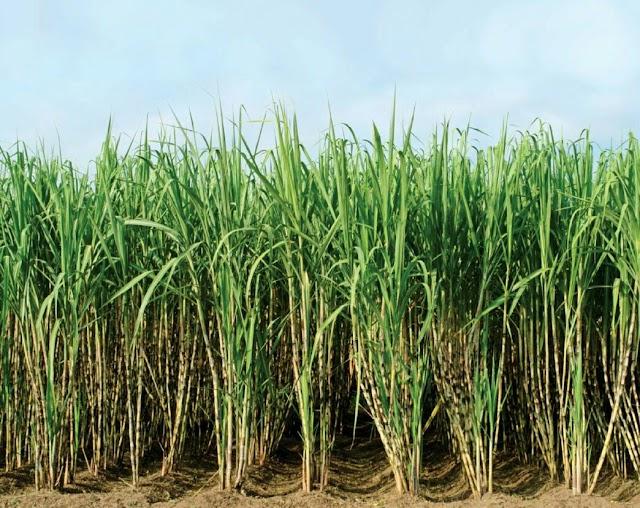 Ganna perayi stra 2020-2021   उत्तर प्रदेश सरकार का चीनी मिलों को आदेश किसानों का गन्ना भुगतान करने के बाद चालू करेंगे गन्ना मिल।