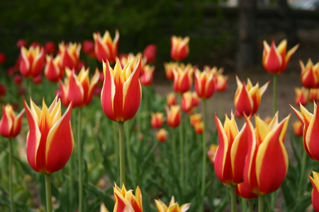 3d Wallpapers For Nokia E63 Cool Images Red And Yellow Tulip