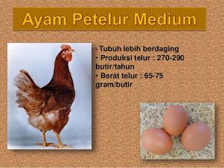 tipe ayam petelur medium