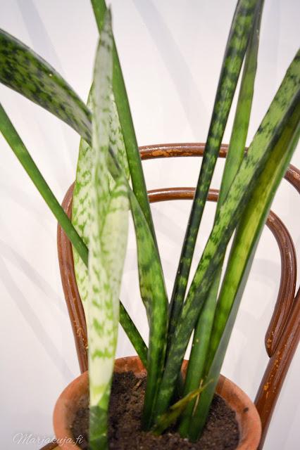 huonekasvi viherkasvi sisustus koti anopinkieli ton tuoli syksy kotoilu huonekasviviikko