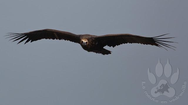 Espagne-Monfrague-saut-gitan-vautour-moine
