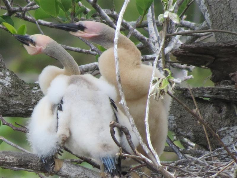 Anhinga Rookery In The Everglades National Park They Are Cute Fluffy Babies