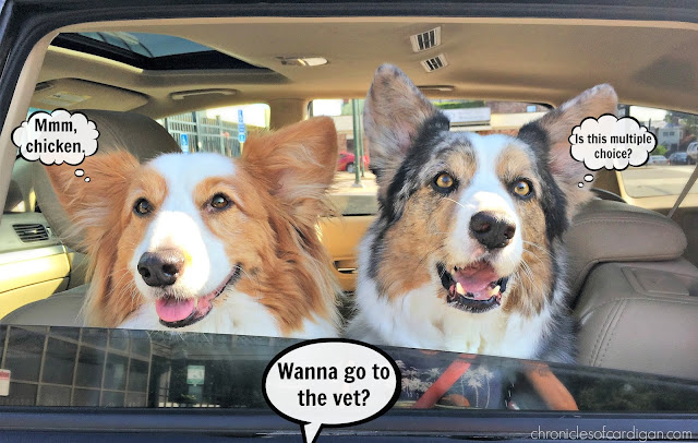 Corgis in car window with captions about going to the vet