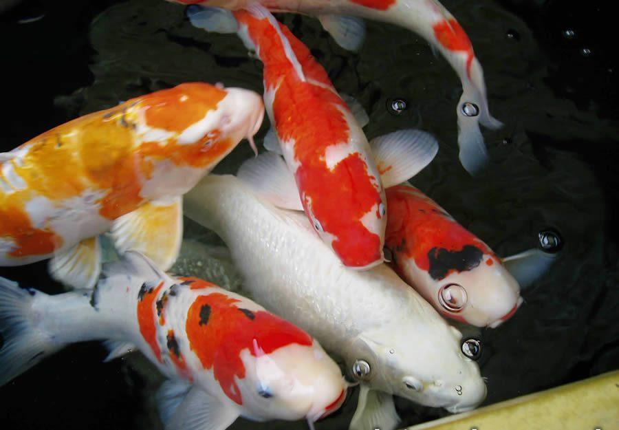 Gejala Cara Mengobati Infeksi Jamur Saprolegnia Saprolegniasis Ikan Koi Paling Ampuh Pusat Koi