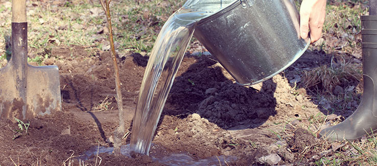 Tree deep watering after planting provides needed moisture for roots to start establishing