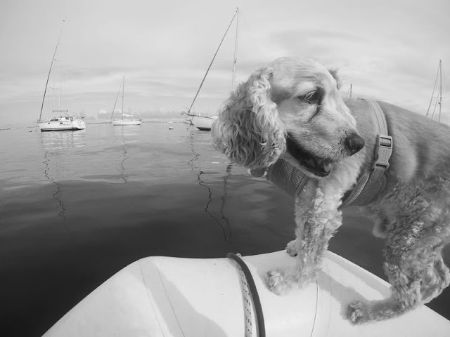 Hastings the Boat Dog rows home through Dinner Key Mooring Field