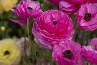 pink-ranunculus-flower.jpg