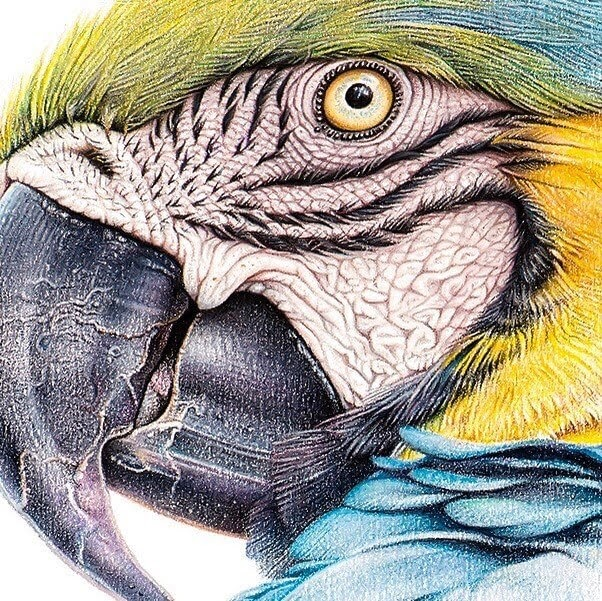 07-Blue-and-Yellow-Macaw-mART-Realistic-Wildlife-Animal-Drawings-www-designstack-co
