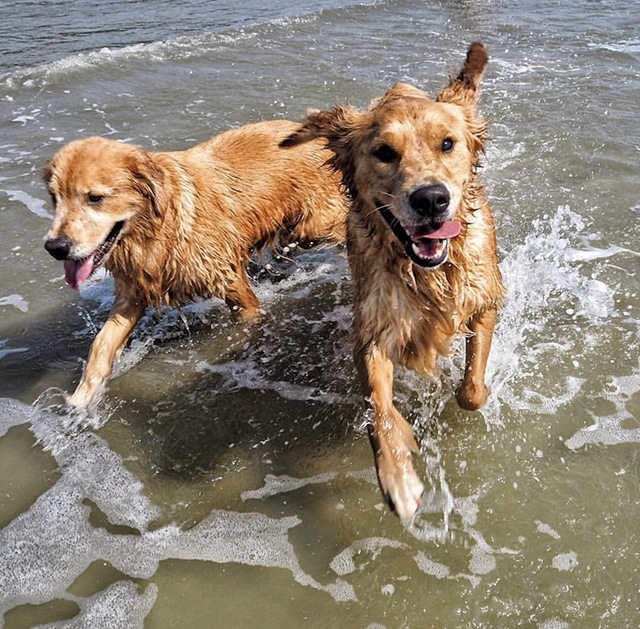 Golden Retrievers Ocean
