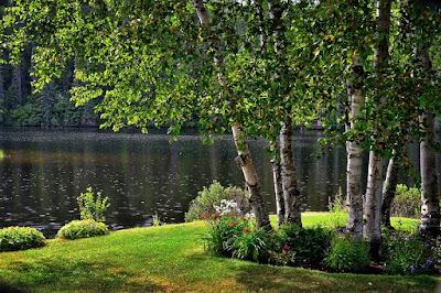 betulla-albero sempreverde-giardino