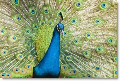 """Peacock"" image courtesy of Nutdanai Apikhomboonwaroot at FreeDigitalPhotos.net"