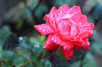 Rose in the Rain - Flower Photography by Mademoiselle Mermaid.