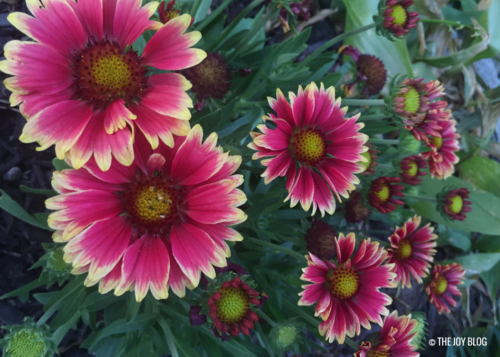Galliardia Sunset Cutie Blanket Flower / A New Perennial Flower Bed // www.thejoyblog.net