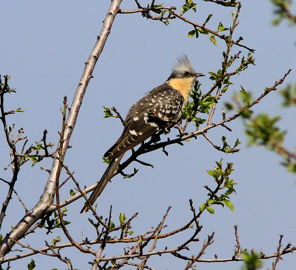 Twitchers flock to see Great Spotted Cuckoo