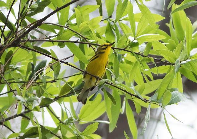 Prairie Warbler - Mead Botanical Garden, Florida