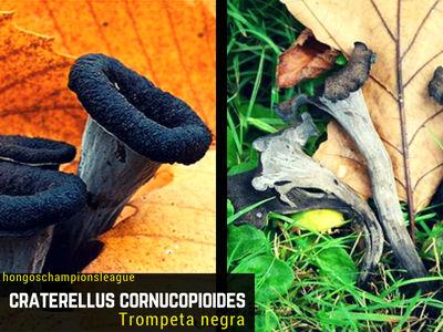 La Craterellus cornucopioides,Trompeta de la Muerte, fructifica de Verano a Otoño