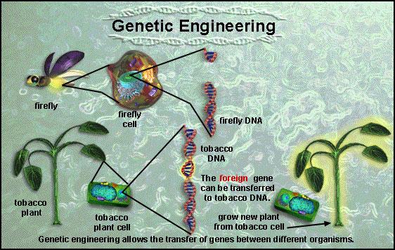 Genetically modified plants process - photo#46