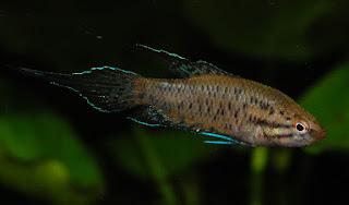 Malpulutta kretseri - Ornate paradisefish - Malpulutta/මල් පුලුට්ටා