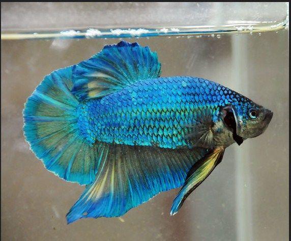 Jenis Ikan Hias dan Harganya Cupang