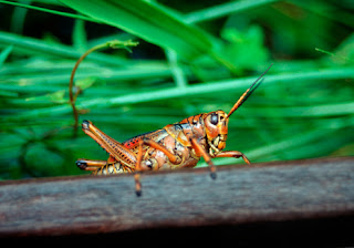 Suara Masteran belalang kecek/kerek, daun, kayu, emas, raja, merah