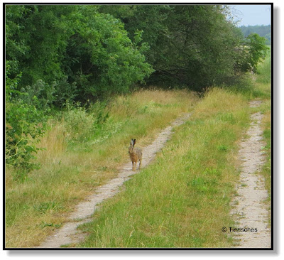 frecher Hase auf dem Feldweg