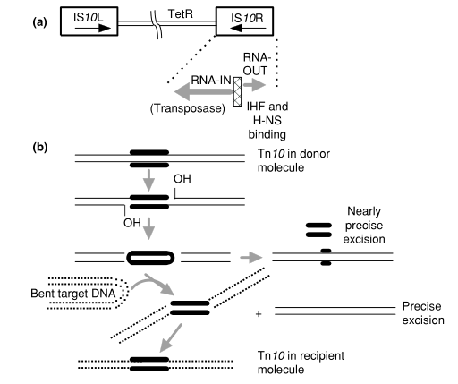 Transposon Tn10