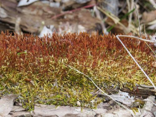 moss with sporangia